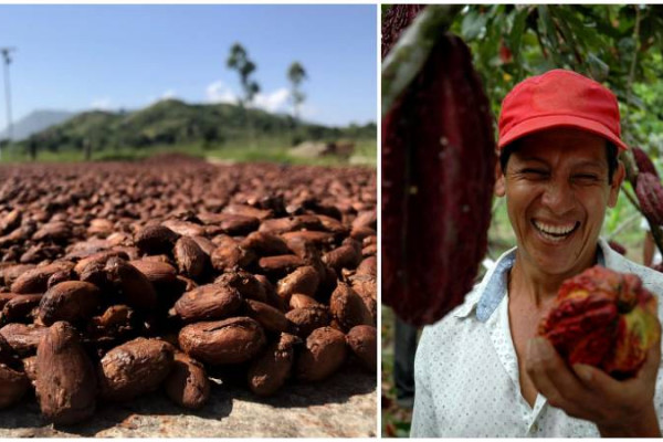 cacao de tumaco sera materia prima para elaborar los mejores chocolates del mundo
